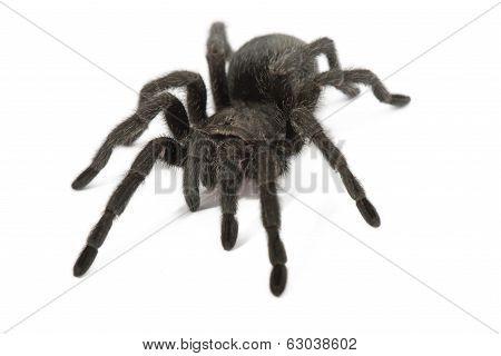 Black Tarantula. Grammostola Pulchra