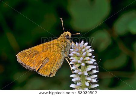 Small Butterfly (augeades)