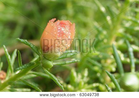 Purslane Flower Bud In Garden.