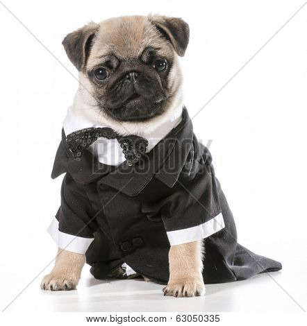 formal dog - pug wearing tuxedo isolated on white background