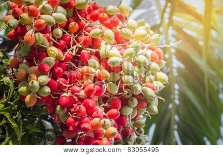 Lipstick Palm Or Sealing-wax Palm Or  Raja Palm Under Sunlight
