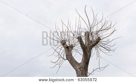 Walnut Tree Top Branches
