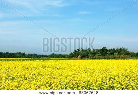 Rural Musterd Field  In Bangladesh
