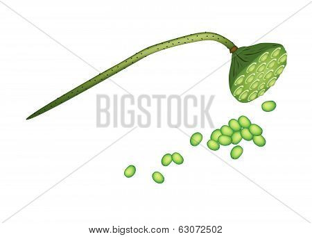 Lotus Pod And Seeds On White Background