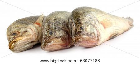 Mottled Nandus Or Veda Fish