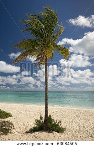 Palm tree on Freeport beach, Grand Bahama Island
