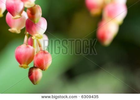 Strawberry Tree Flower Cluster