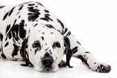 stock photo of spotted dog  - Beauty dalmatian dog - JPG