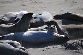 Male Elephant Seals Squabble
