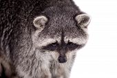 picture of 15 year old  - Raccoon (15 years old) - isolated on the white background
