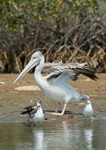 Pink-backed Pelican Stretching Its Wings On The Shore