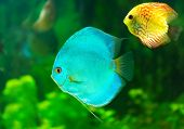 image of diskus  - a tropical discus fish on green background - JPG