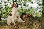 stock photo of snipe  - Irish red and white setter near to trophies horizontal outdoors - JPG