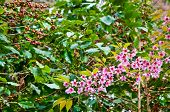The Coffee Tree And Wild Himalayan Cherry