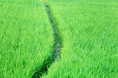 stock photo of bangladesh  - close up of Green rice field in Bangladesh - JPG