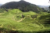 foto of cameron highland  - Mount and tree plantation in Cameron Highlands Malaysia - JPG