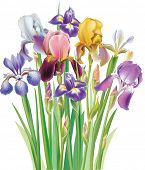 stock photo of purple iris  - Bouquet of Iris flowers - JPG