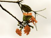 stock photo of yucatan  - Mexican orange flower from Yucatan country Mexico
