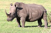 picture of fat lip  - Huge white rhinocerous with big horn and wide flat mouth - JPG