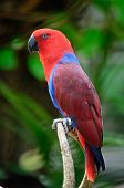 stock photo of parrots  - Colorful red parrot - JPG