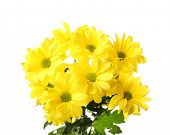 stock photo of chrysanthemum  - Beautiful chrysanthemum flowers isolated on white - JPG