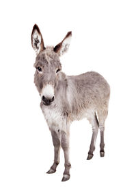 stock photo of headstrong  - Pretty Donkey isolated on the white background - JPG