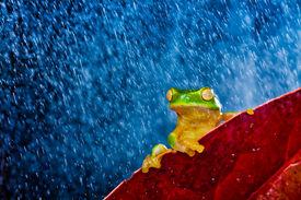 foto of cute frog  - Little green tree frog sitting on red leaf in rain - JPG