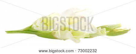 beautiful gladiolus flower, isolated on white
