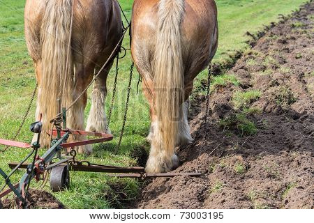 Two Draft Horses With A Traditional Plough