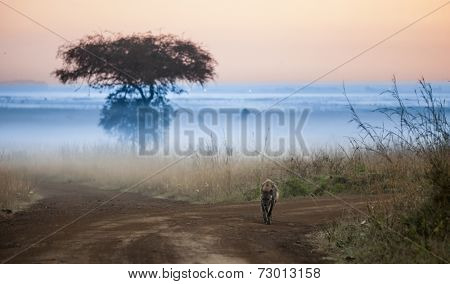 hyena before dawn in Kenya with fog in background