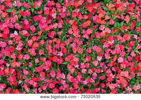 Impatiens Flowers Background