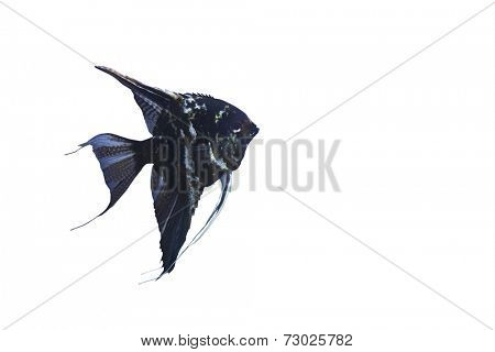 Close-up of black angelfish over white background