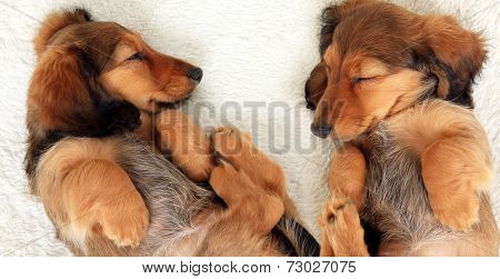 Two sleeping dachshund puppies.