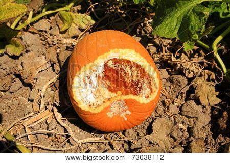 A pumpkin growing in a field shows signs of being eaten by some little creature, perhaps a field mouse, birds, rats, opossums or any type of animal that likes pumpkin.