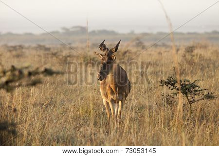 hartebeest in early morning in Nairobi National Park
