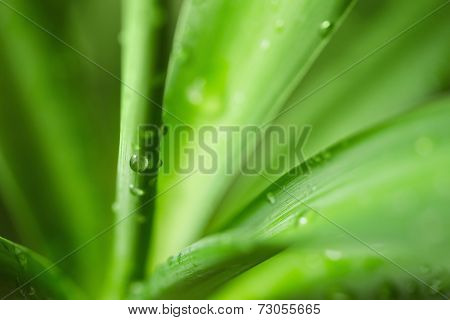 Water drops on an green yucca leaves