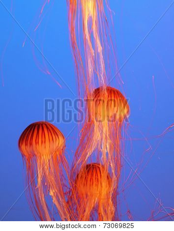 Three yellow-orange jellyfish with thin tentacles. Aquarium with bright blue water