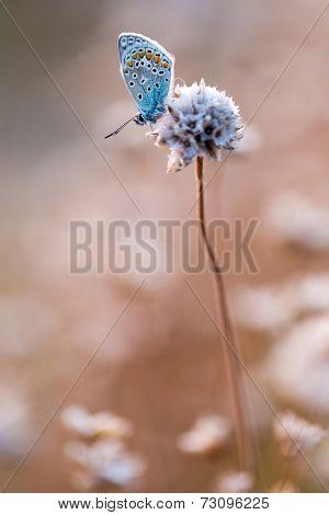 Lysandra Lellargus butterfly resting on dry Armeria Maritima flower