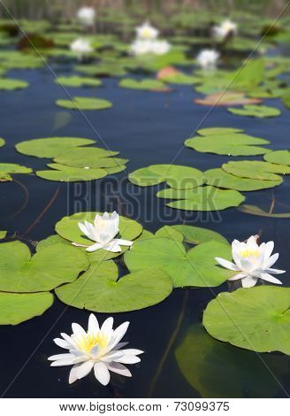 summer lake with water-lily flowers on dark water