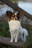 Portrait of purebred Papillon dog poster