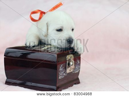 Labrador Puppy On The Pink Background With A Casket