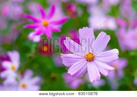 Beautiful Cosmos Flower