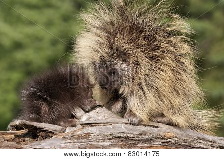 Porcupine Mother and Baby