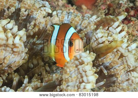 Clownfish In Host Anemone