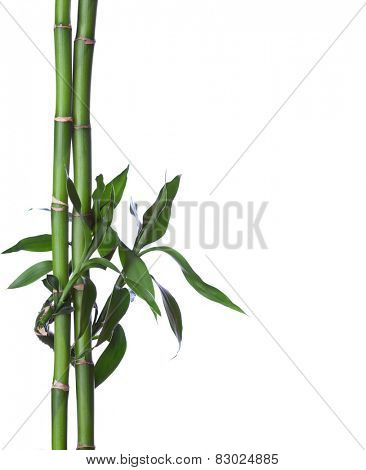 Bamboo isolated on white background. Dracaena braunii