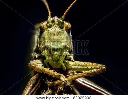 Macro shot of grasshopper on black background