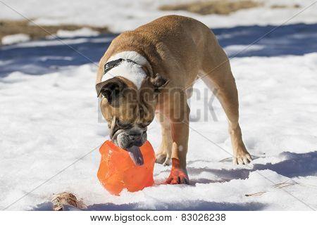 Bulldog sticking his tongue out