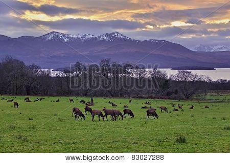 Grazing Deers