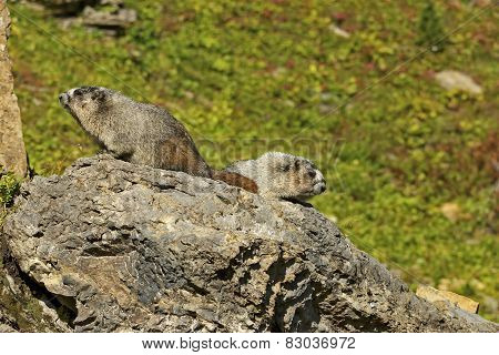Pair Of Hoary Marmots On A Rock