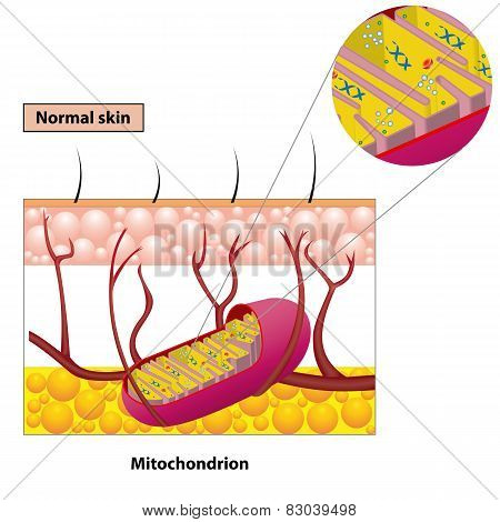 Mitochondrion Scheme
